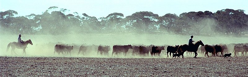 agri_cattle